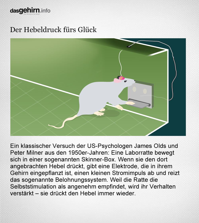 Mediathek - Bild | Ratten-Experiment: Der Hebeldruck fürs Glück