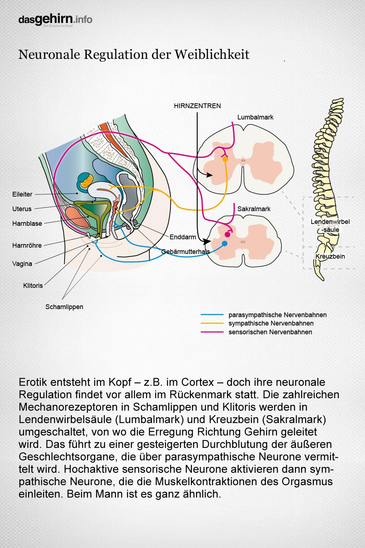 Mediathek - Bild | Grafik: Neuronale Regulation der weiblichen ...