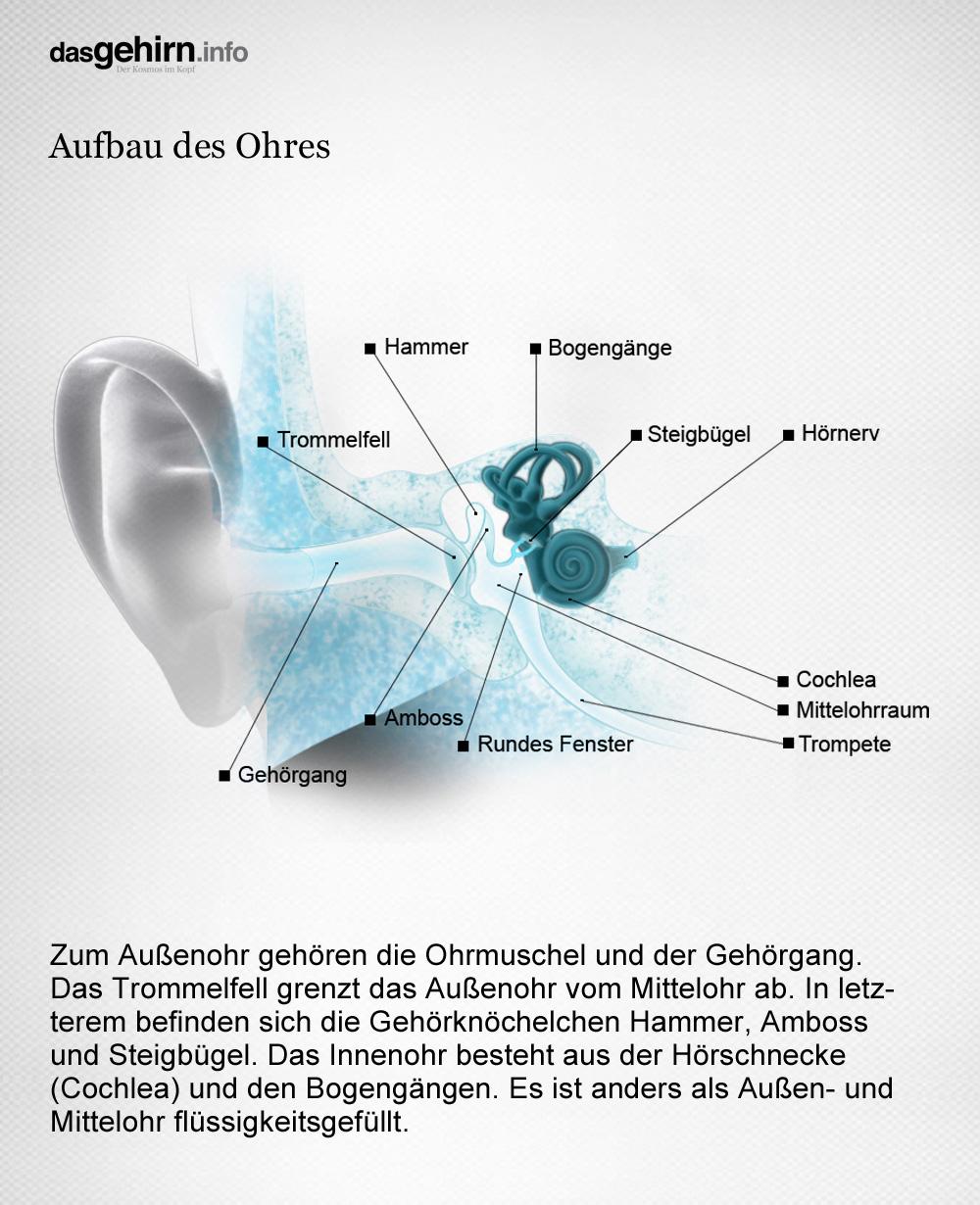Mediathek - Bild | Hören: Aufbau des Ohres