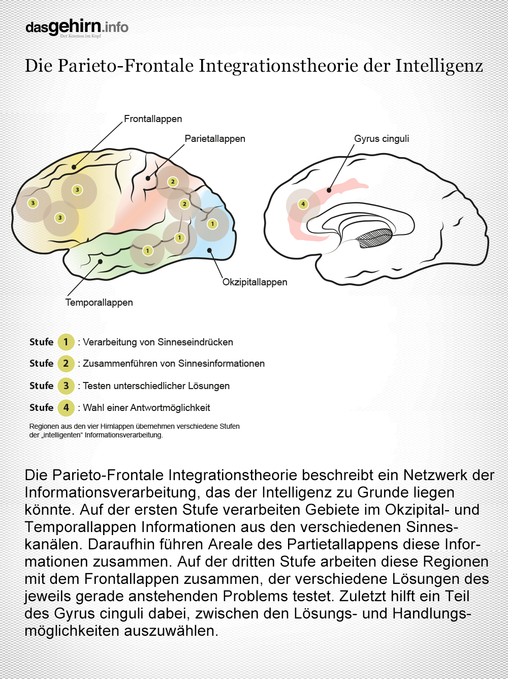 Mediathek - Bild | Infografik Anatomie: P-FIT & Intelligenz im Gehirn