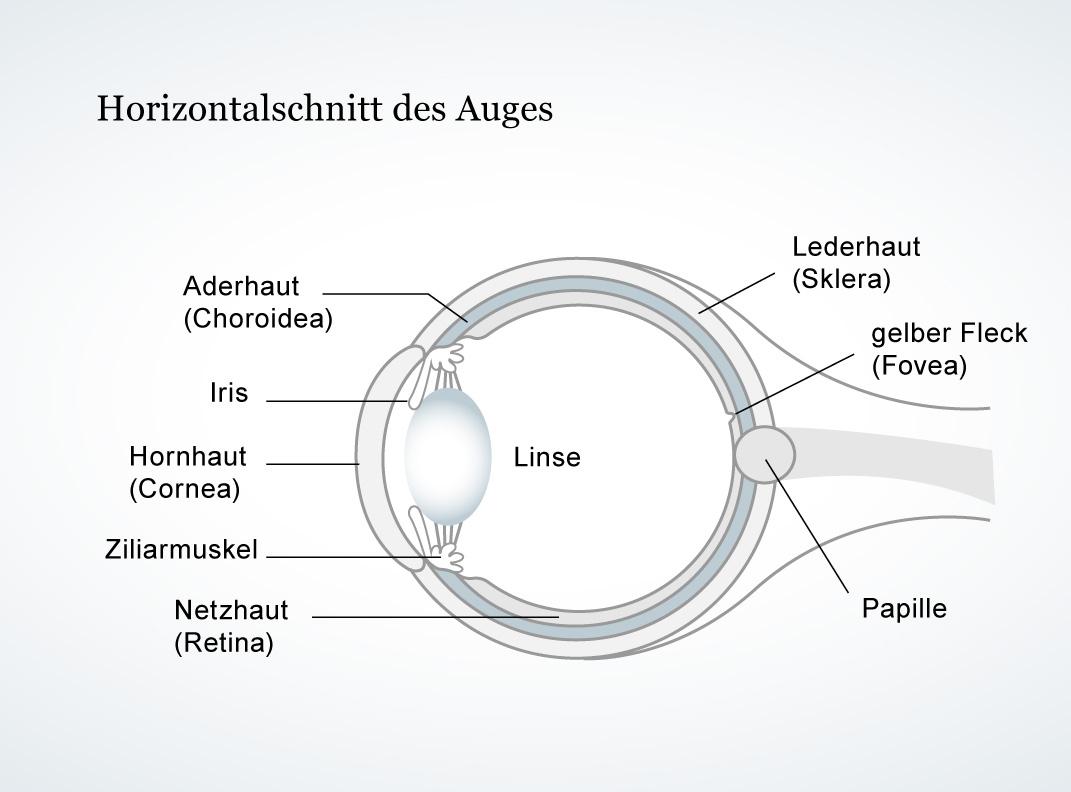 Mediathek - Bild | Horizontalschnitt des Auges