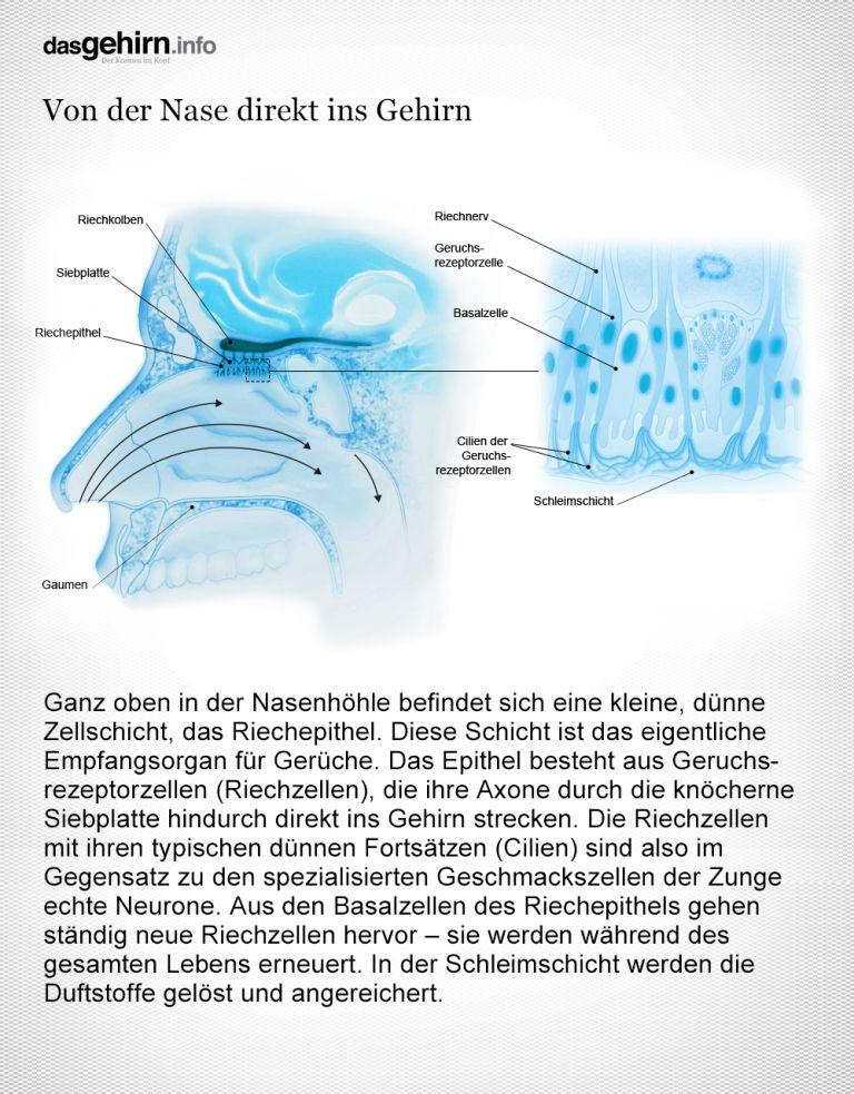 Wie der Duft ins Gehirn gelangt