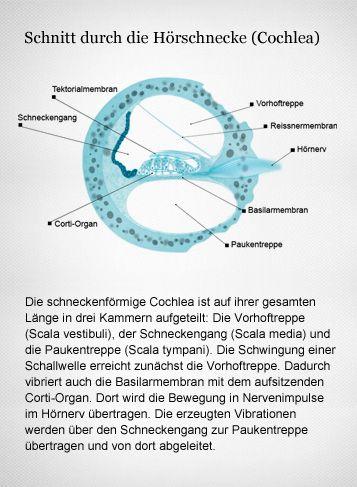 Wichtig im Corti-Organ sind die Haarzellen. Sie ändern ihre elektrische Ladung, sobald die Basilarmembran vibriert. Dadurch entsteht im Hirn ein Höreindruck. Grafikerin: Meike Ufer