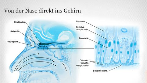 Geruchsrezeptorzellen (Riechzellen)