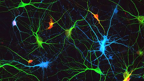 Vernetzte Neuronen im Hippocampus