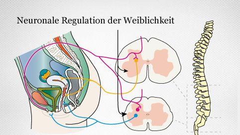 neuronale Vernetzung des weiblichen Geschlechtsorgans