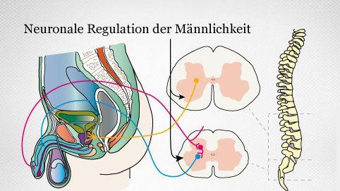 neuronale Vernetzung des männlichen Geschlechtsorgans