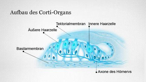 Aufbau des Corti-Organs
