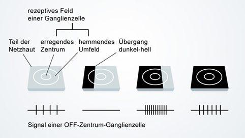 Sehen von Hell-Dunkel-Grenzen mittels Ganglienzellen