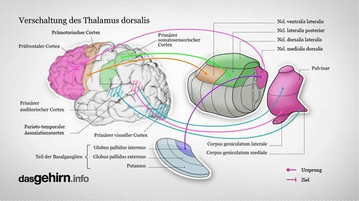 Verschaltung des Thalamus dorsalis