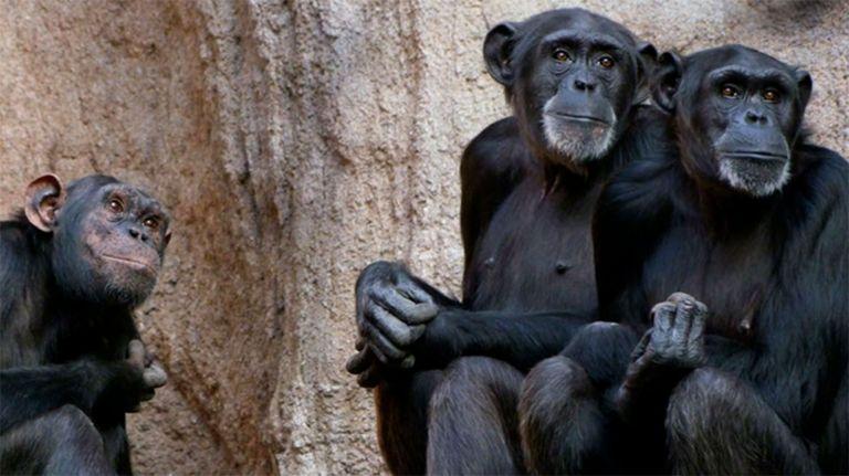 Schimpansenschach