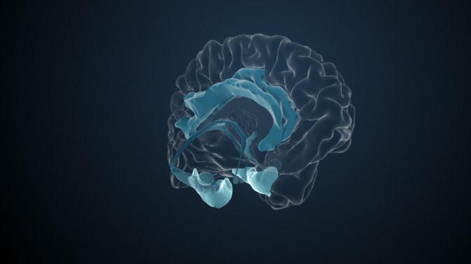 Der Gyrus parahippocampalis