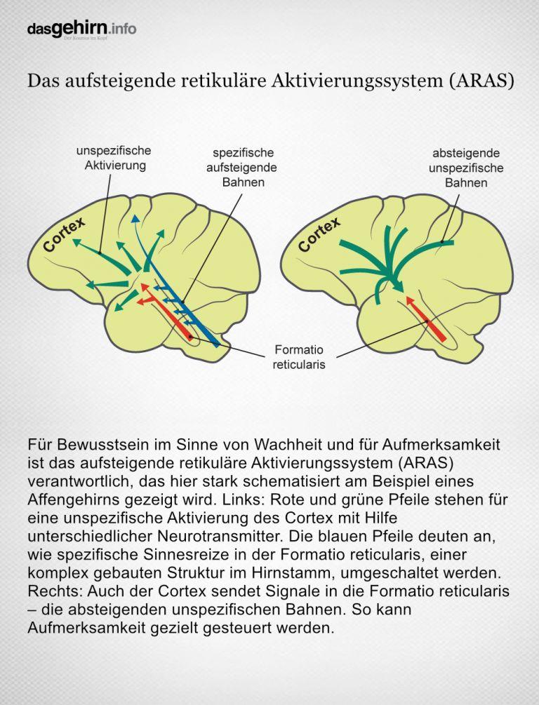 Verarbeitung bewusster Wahrnehmungen in Cortex, Formatio reticularis und Thalamus