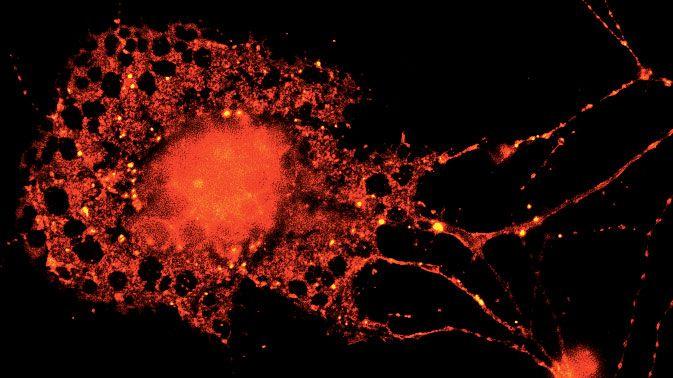 Gliazellen: Unterschätzter Klebstoff