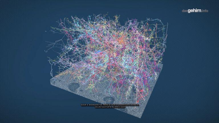 500.000 Kubikmicrometer im Cortex einer Maus