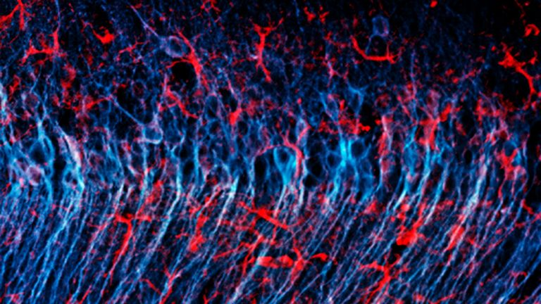 Astrozyten (rot) umgeben Nervenzellen (blau) im Gehirn einer Maus.