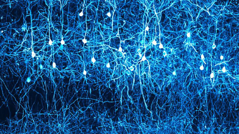 The layered structure of nerve cells in the neocortex