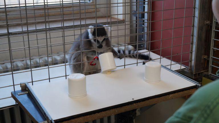 Mit der Primate Cognition Test Battery wird unter anderem das räumliche Denkvermögen bei Primaten untersucht: Kann sich der Katta merken, unter welchem Becher die Belohnung versteckt ist?