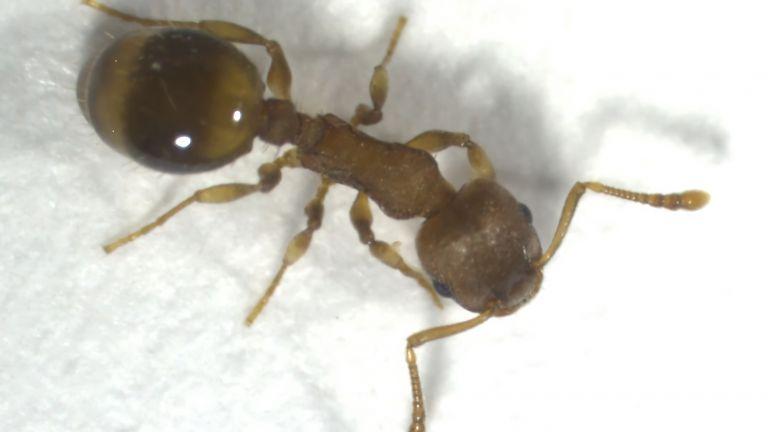 Ameise der Art Temnothorax nylanderi