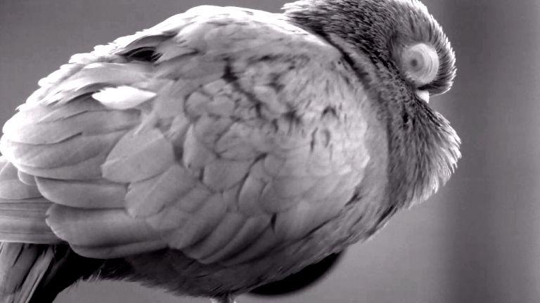 Die Pupillen von Vögeln verhalten sich gegensätzlich zu denen von Säugetieren. Das Bild zeigt die verengte Pupille einer Taube im REM Schlaf, sichtbar durch das transparente Augenlid.
