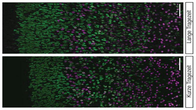 Nervenzellen in den tiefen (Magenta) und oberen (grün) Neokortex-Schichten bei Mäusen mit kurzer (links) und langer (rechts) Tragezeit. Die Nervenzell-Zunahme in den oberen Schichten im Mausembryo mit langer Tragezeit ist offensichtlich. Maßstab: 50 µm.