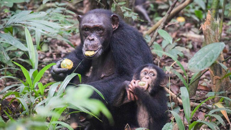 Ähnlich wie Menschen benötigen Schimpansen mehr als fünf Jahre, um wichtige Entwicklungsmeilensteine zu erreichen.