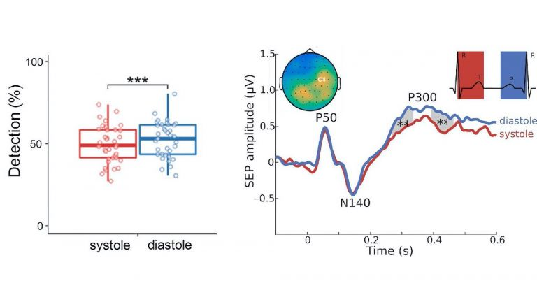 Linkes Diagramm: Während der systolischen Phase (rot) ist es unwahrscheinlicher, dass man schwache äußere Reize wahrnimmt als in der diastolischen Phase (blau) des Herzzyklus: Rechtes Diagramm: Während der systolischen Phase ist ein Teil der Hirnaktivität unterdrückt - die sogenannte P300-Komponente. Tritt sie auf, werden äußere Einflüsse bwusst wahrgenommen.