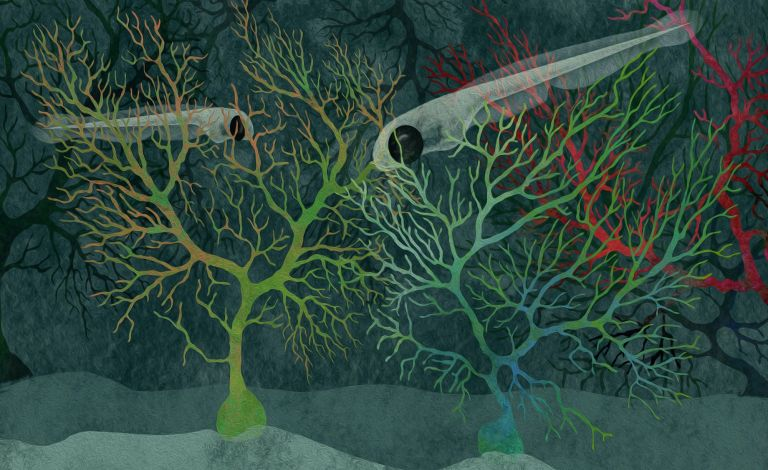Neurobiologen zeigen, dass das Kleinhirn von Zebrafischlarven in drei Verhaltensmodule unterteilt ist.